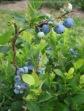 Blueberry Shrub Vert